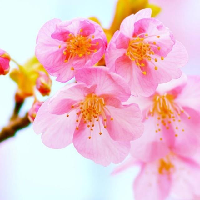 桜の開花予想日も!